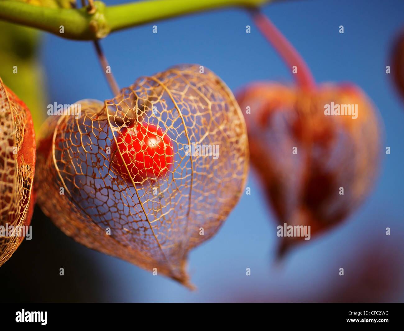 berry, vein, leaf-vein, nervure, autumn, fall, groundcherry, ground cherry, ground cherry, lampion, Chinese lantern, - Stock Image