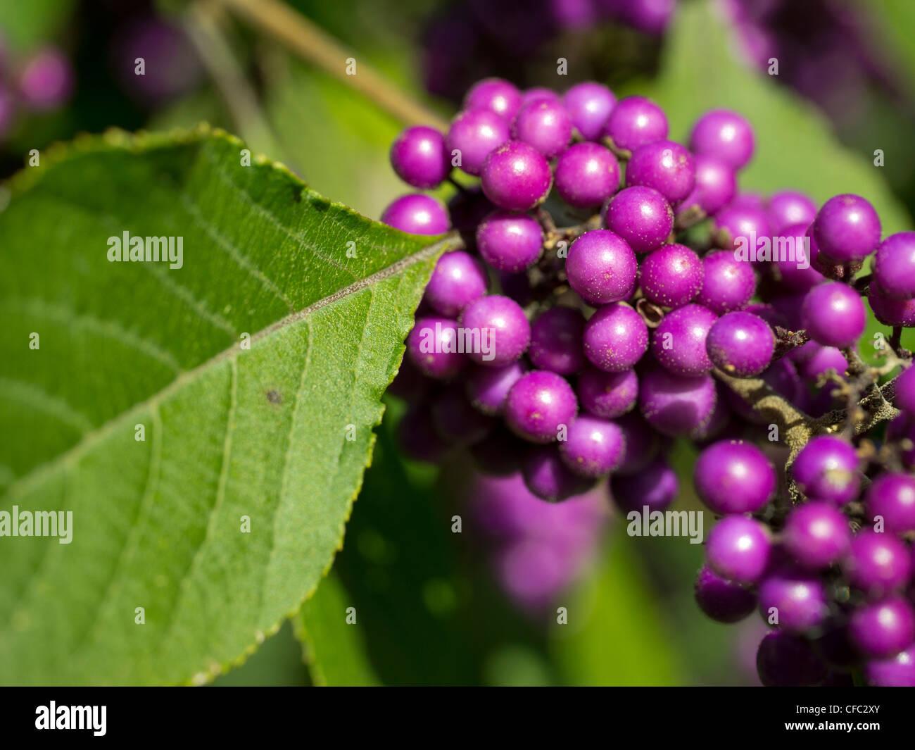 berry, Burgdorf, Callicarpa bodinieri, garden, shrub, ornamental shrub, bush, canton Bern, nature, plant, Switzerland, - Stock Image