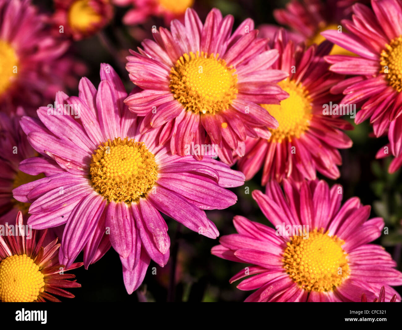 aster, Asteraceae, flowers, blossom, bloom, flora, garden, gardening, horticulture, yellow, canton Bern, aster family, - Stock Image