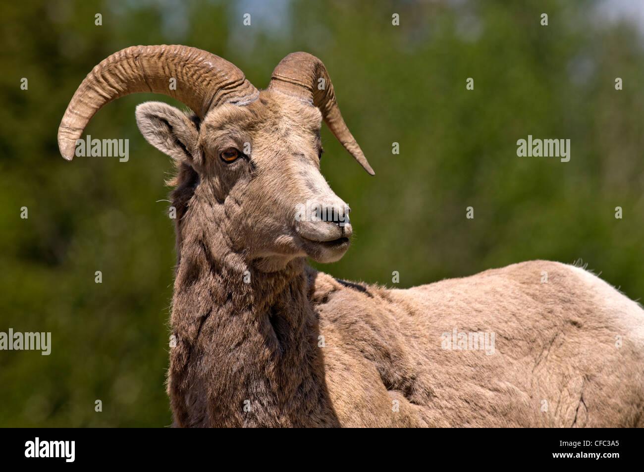 Big Horn Sheep (Ovis canadensis), Jasper National Park, Alberta, Canada - Stock Image
