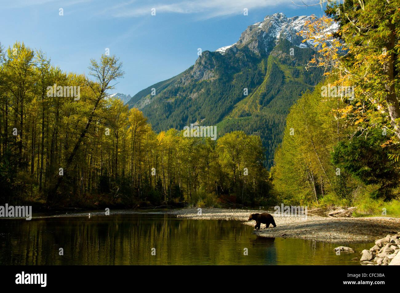 Grizzly Bear Ursus horribilis walks shores - Stock Image