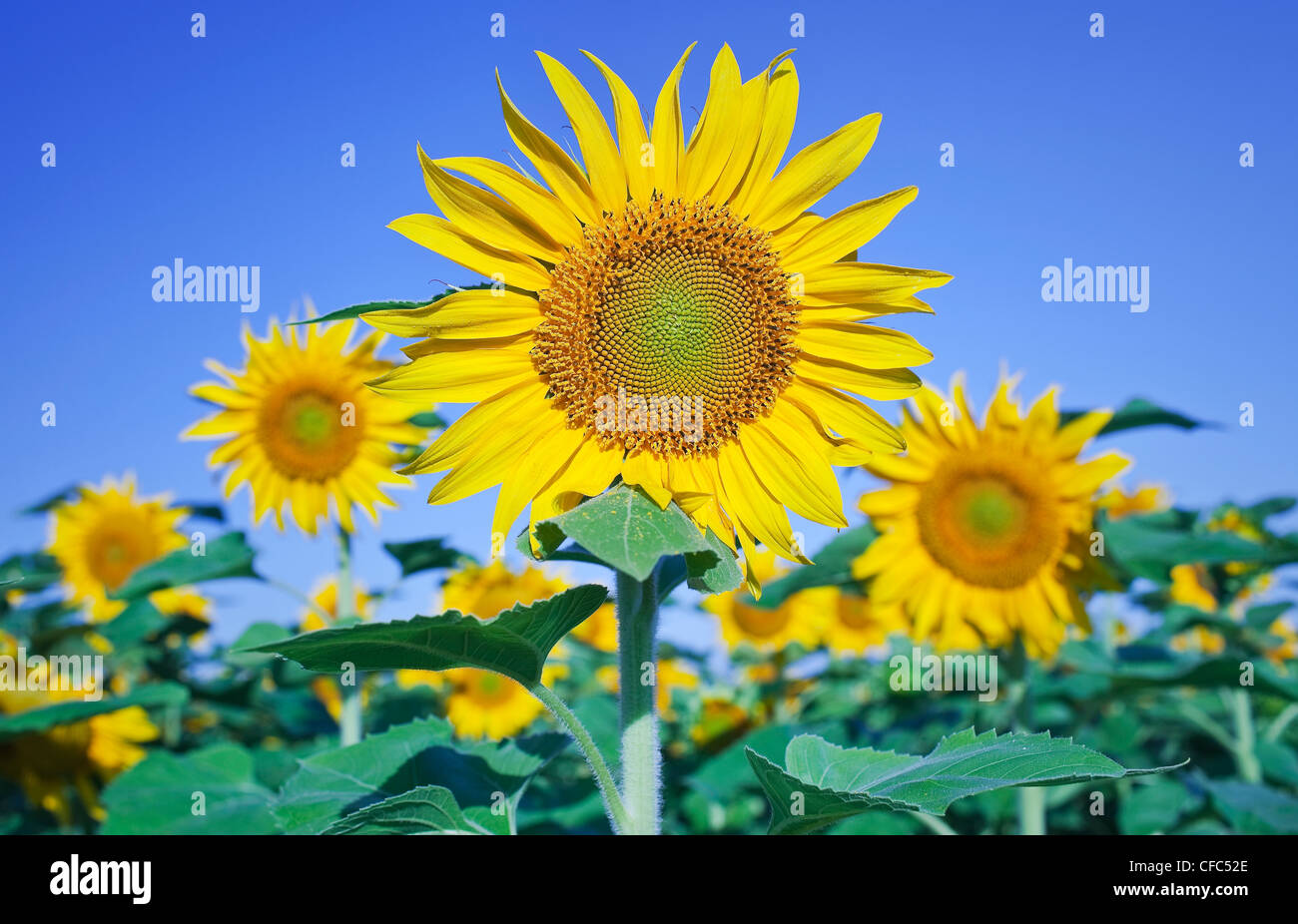 Sunflowers against clear blue sky, on the Canadian Prairie. Winnipeg, Manitoba, Canada. - Stock Image