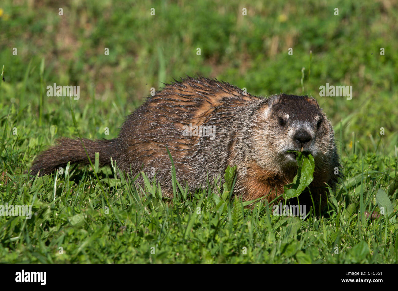 Woodchuck or groundhog (Marmota monax) sitting in summer grasses while feeding on dandelion leaves. Ontario, Canada. - Stock Image