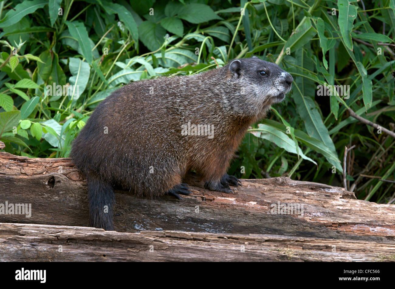 Woodchuck or groundhog (Marmota monax) in summer vegetation. Ontario, Canada. - Stock Image