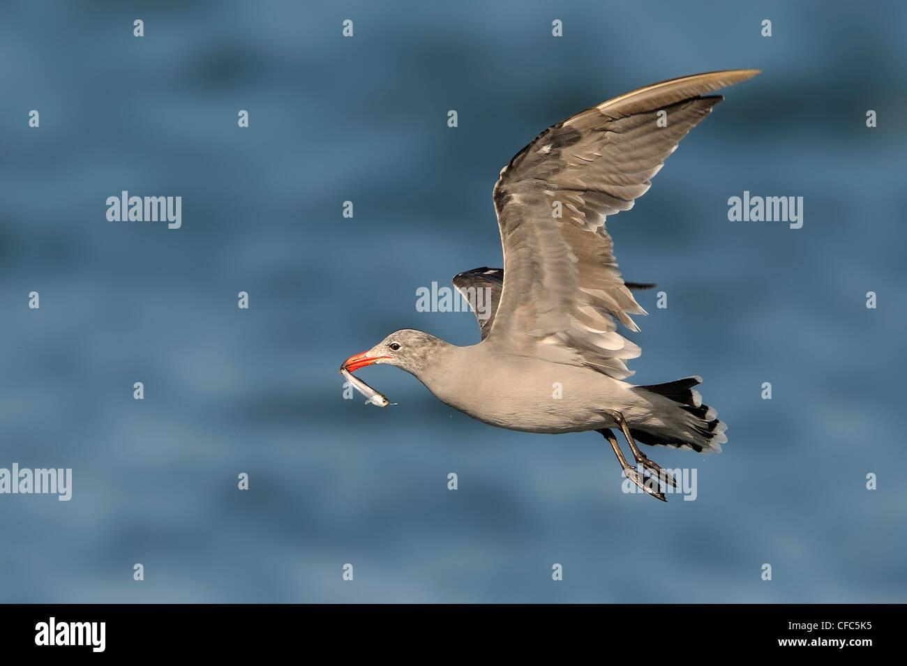 Heerman's Gull with bait fish, Westport WA Stock Photo