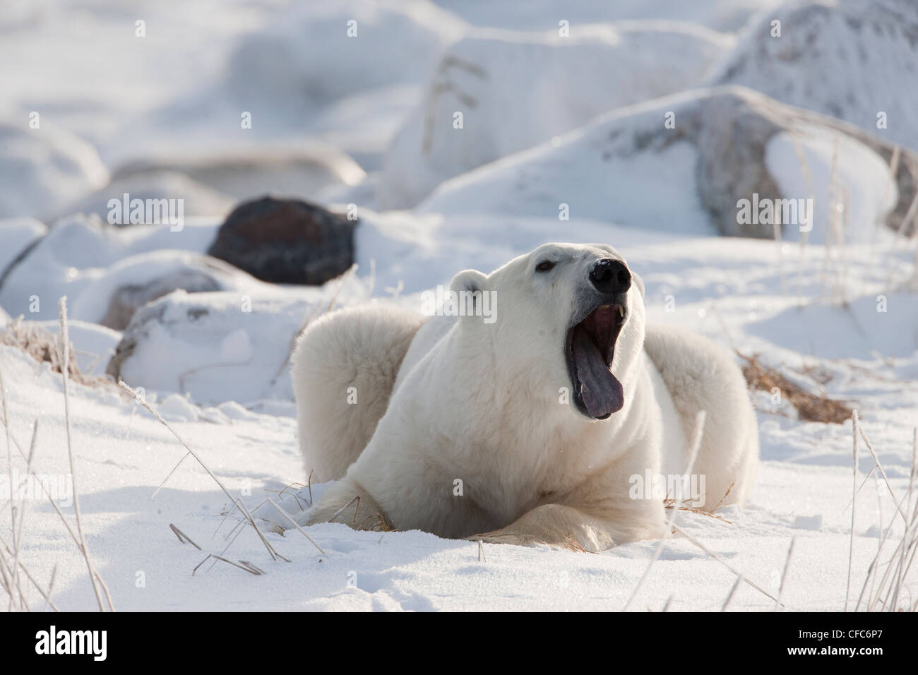Polar Bear Ursus maritimus laying among rocks - Stock Image