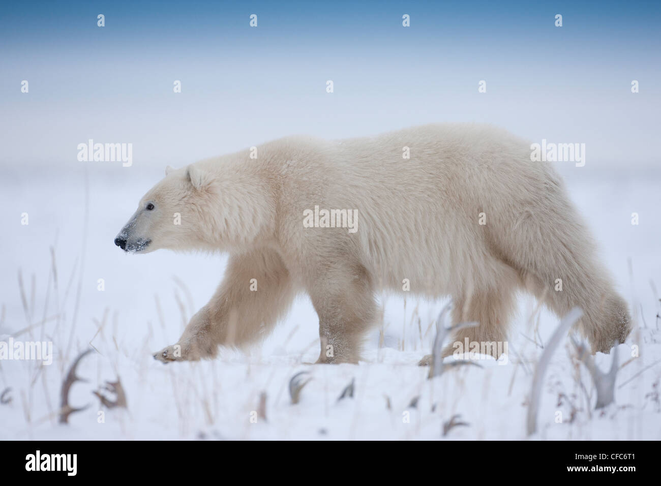 Polar Bear Ursus maritimus walks among caribou - Stock Image
