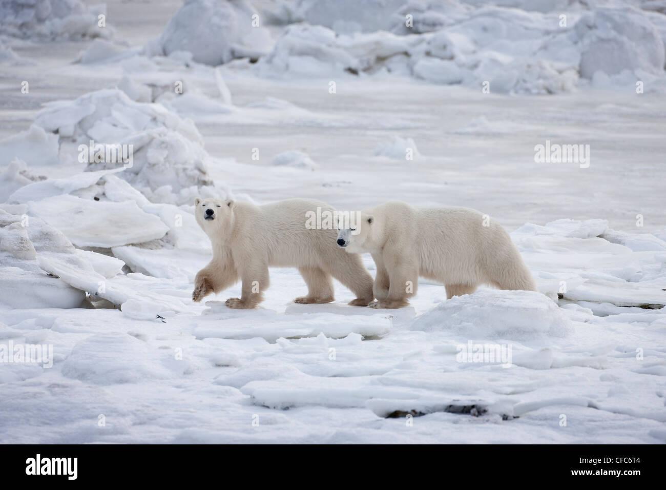 Polar Bears Ursus maritimus adult last year's cub - Stock Image