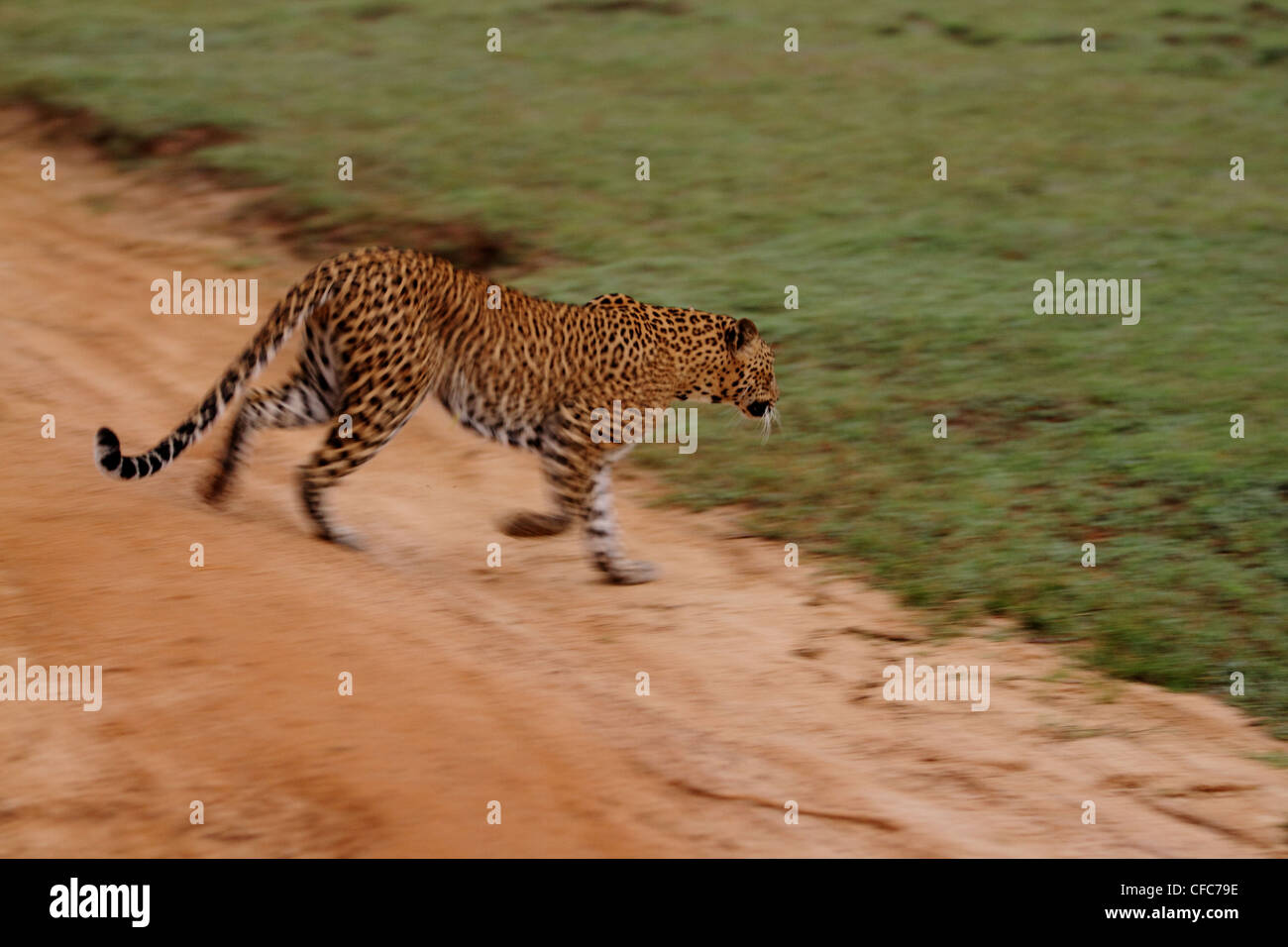 leopard running stock photos  u0026 leopard running stock images