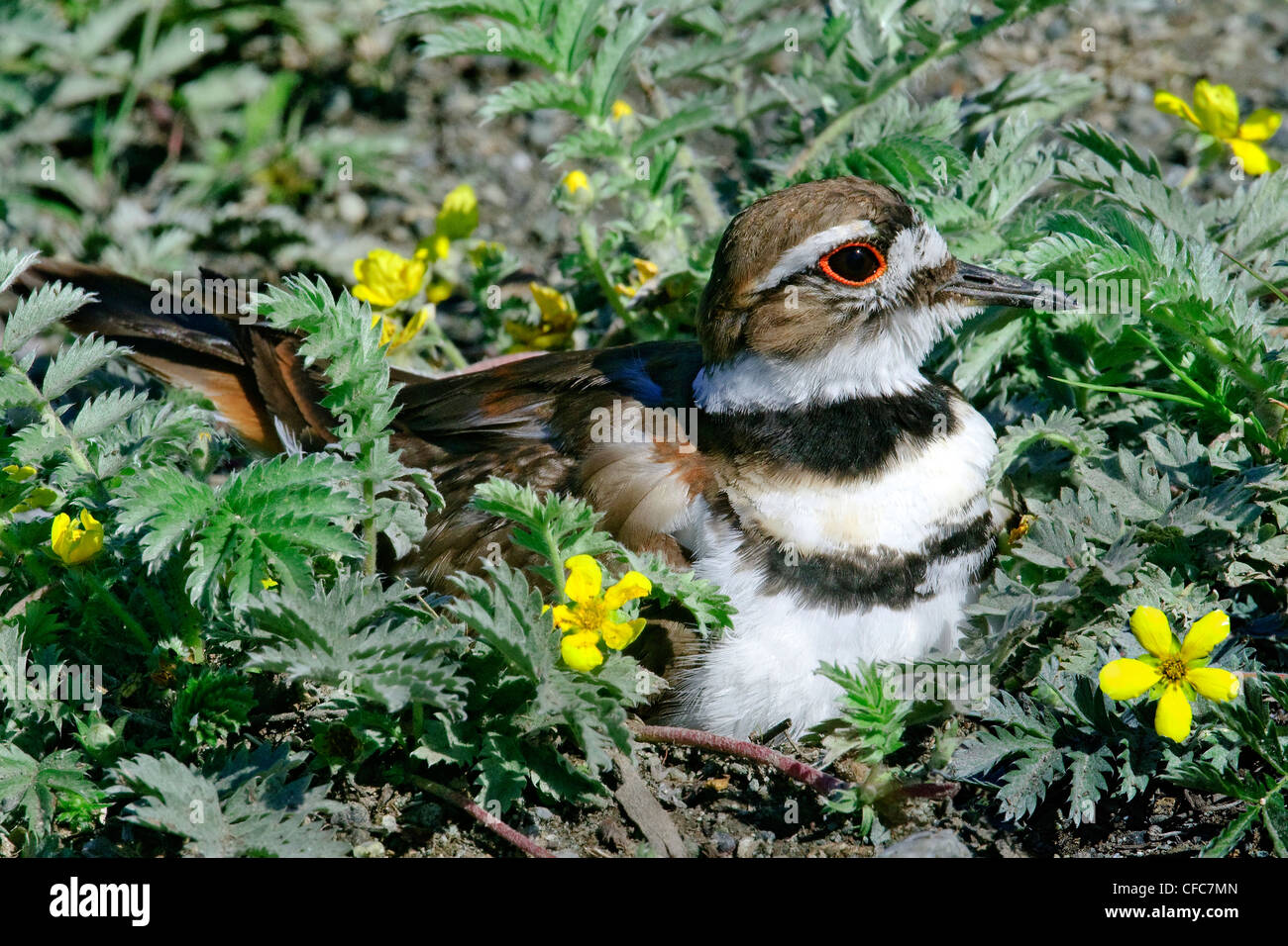 Killdeer (Charadrius vociferus) incubating a clutch of four eggs, southern Okanagan Valley, British Columbia - Stock Image