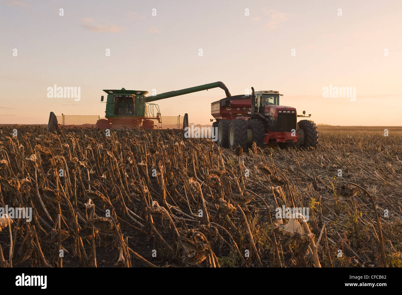 a combine harvester unloads into a grain wagon on the go during the sunflower harvest, near La Salle, Manitoba, - Stock Image