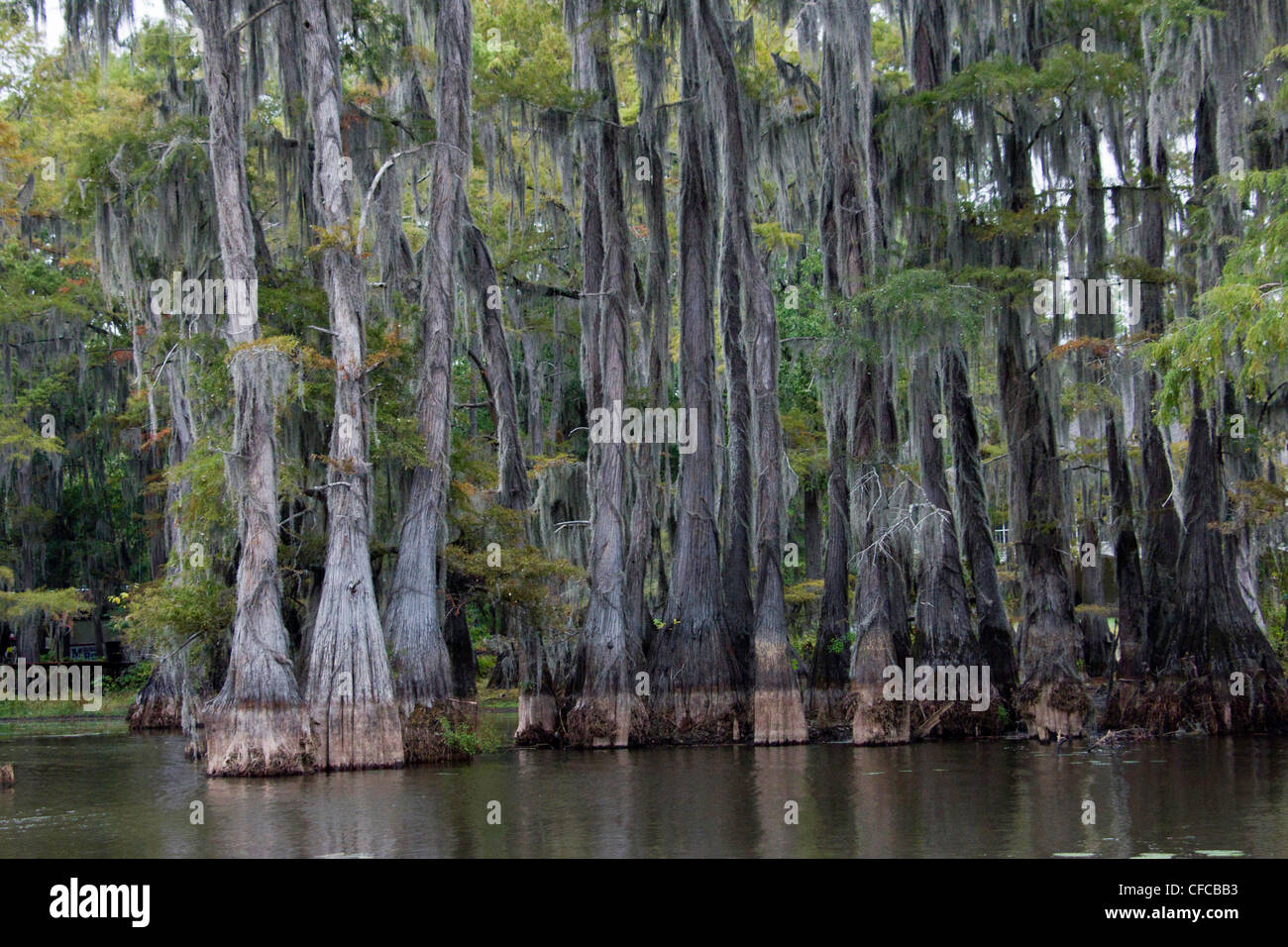 Angiosperms, Bald Cypress, Bald-cypress, Baldcypress, Bromeliaceae, Caddo lake, Commelinids, Cupressaceae, Cypress - Stock Image