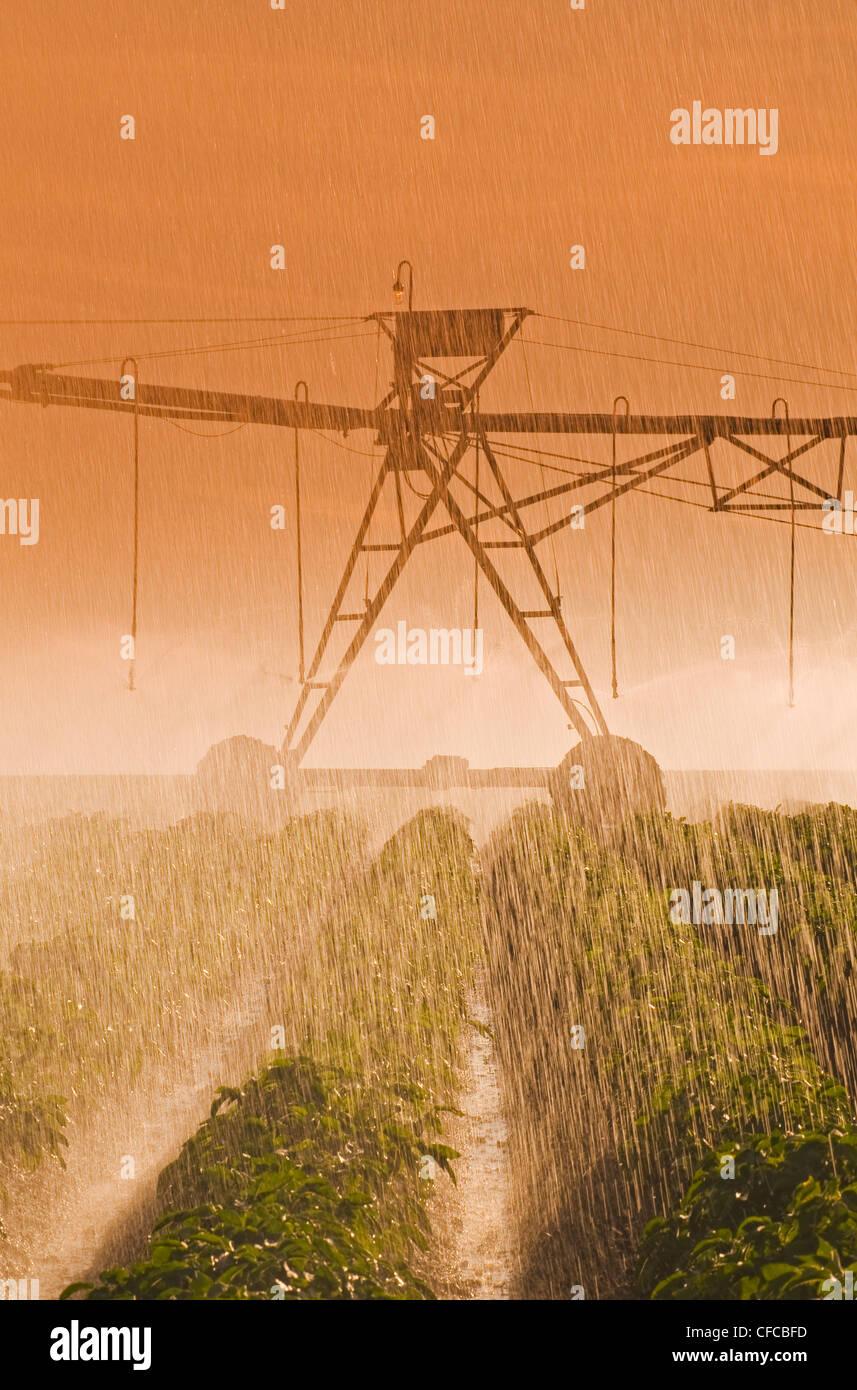 a center pivot irrigation system irrigates potatoes,Tiger Hills, Manitoba, Canada - Stock Image