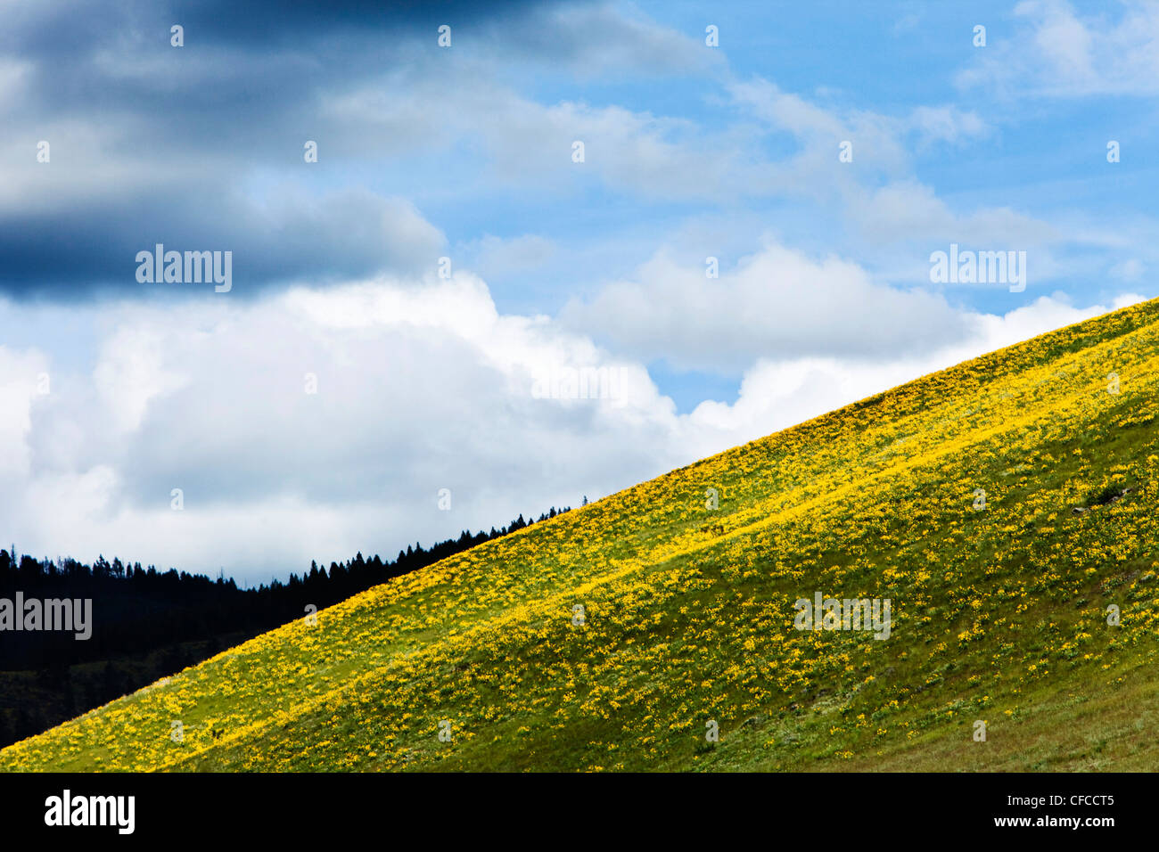 A hillside of wild flowers blooming under stormy skies in Montana. - Stock Image
