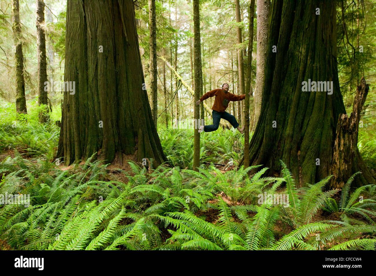 Two giant Cedar trees frame this agile climber - Stock Image