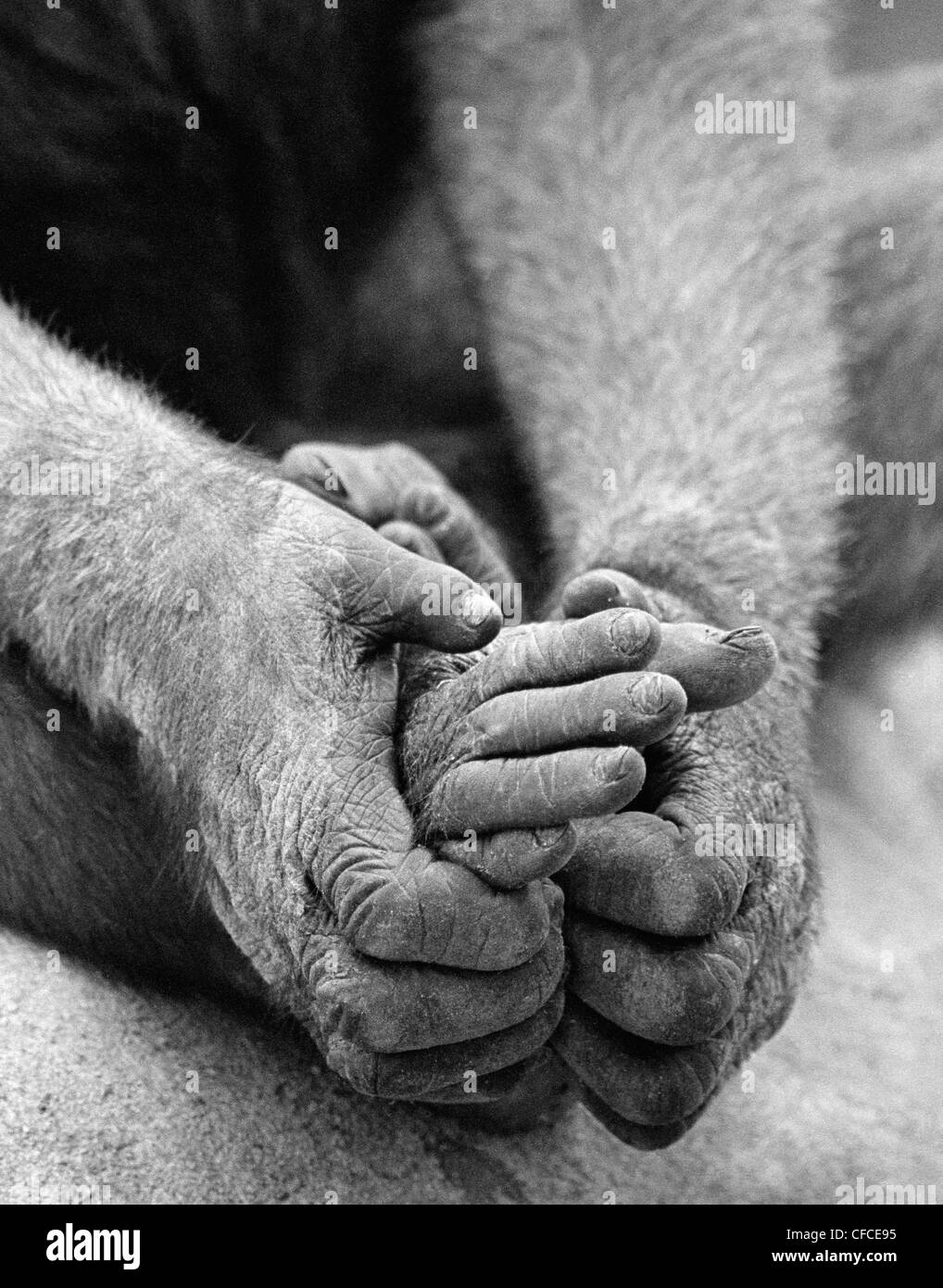 Ape holding feet with hands at San Diego Zoo, California, USA - Stock Image