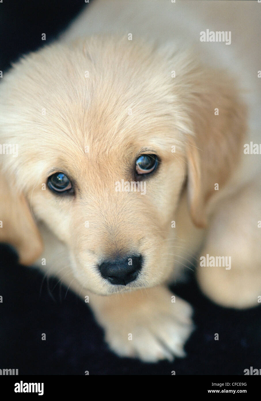 Portrait of young golden retriever puppy at home Stock Photo