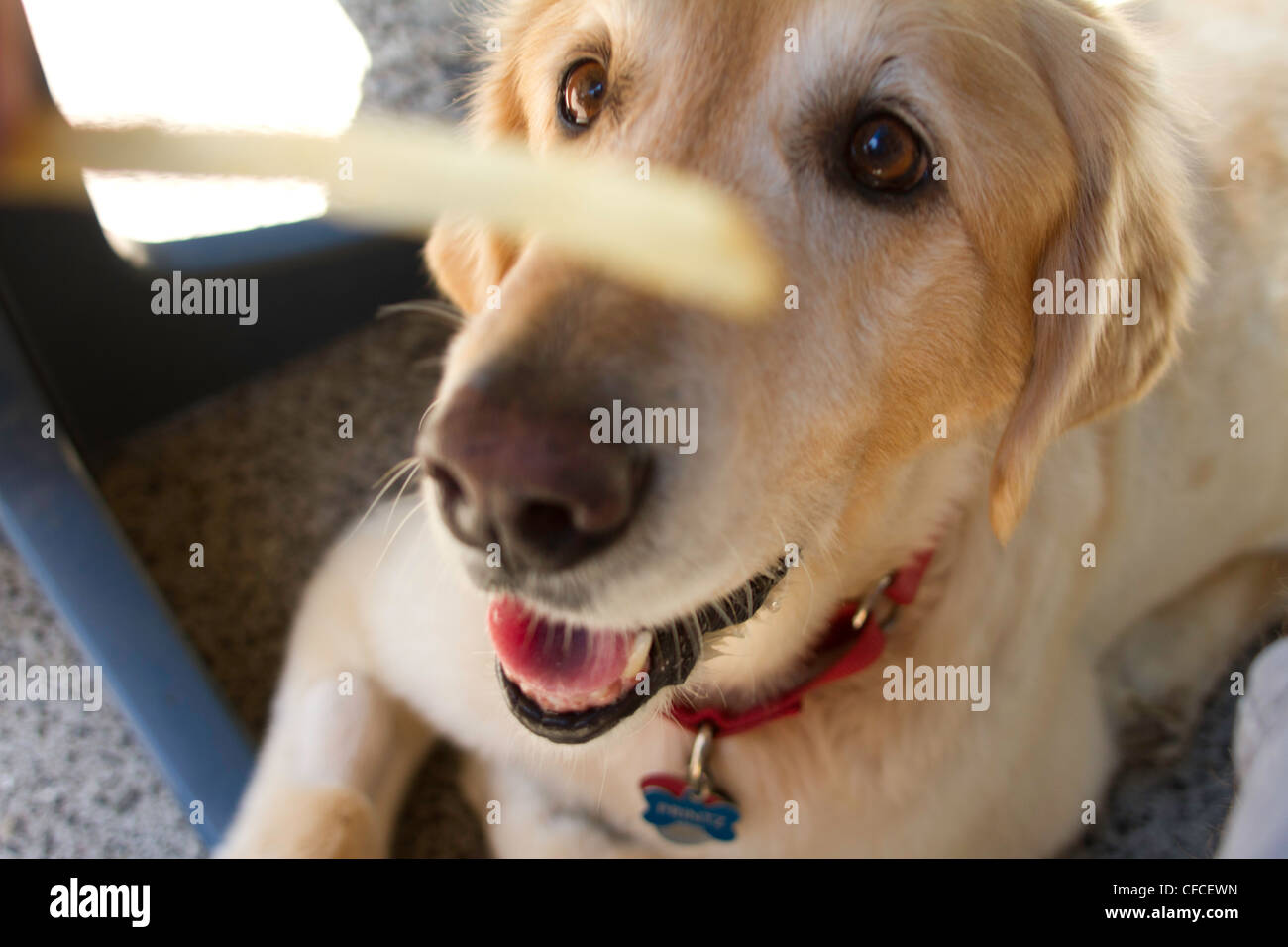 Pet Golden Retriever begs for french fry while out to lunch with owner - Stock Image