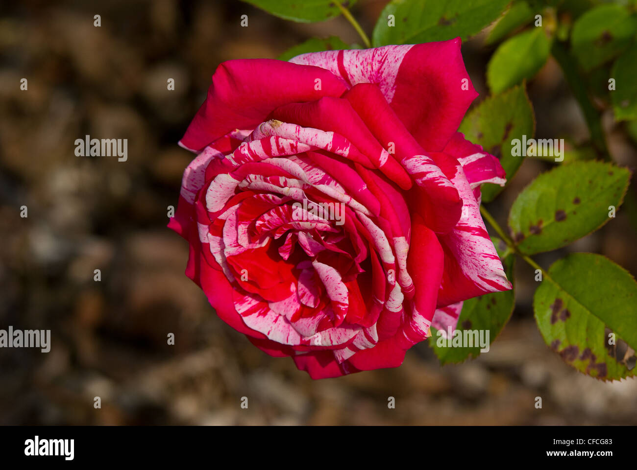 Rose Rosaceae flower nature love bloom plant close up view Journal beautiful macro closeup plant plant part - Stock Image