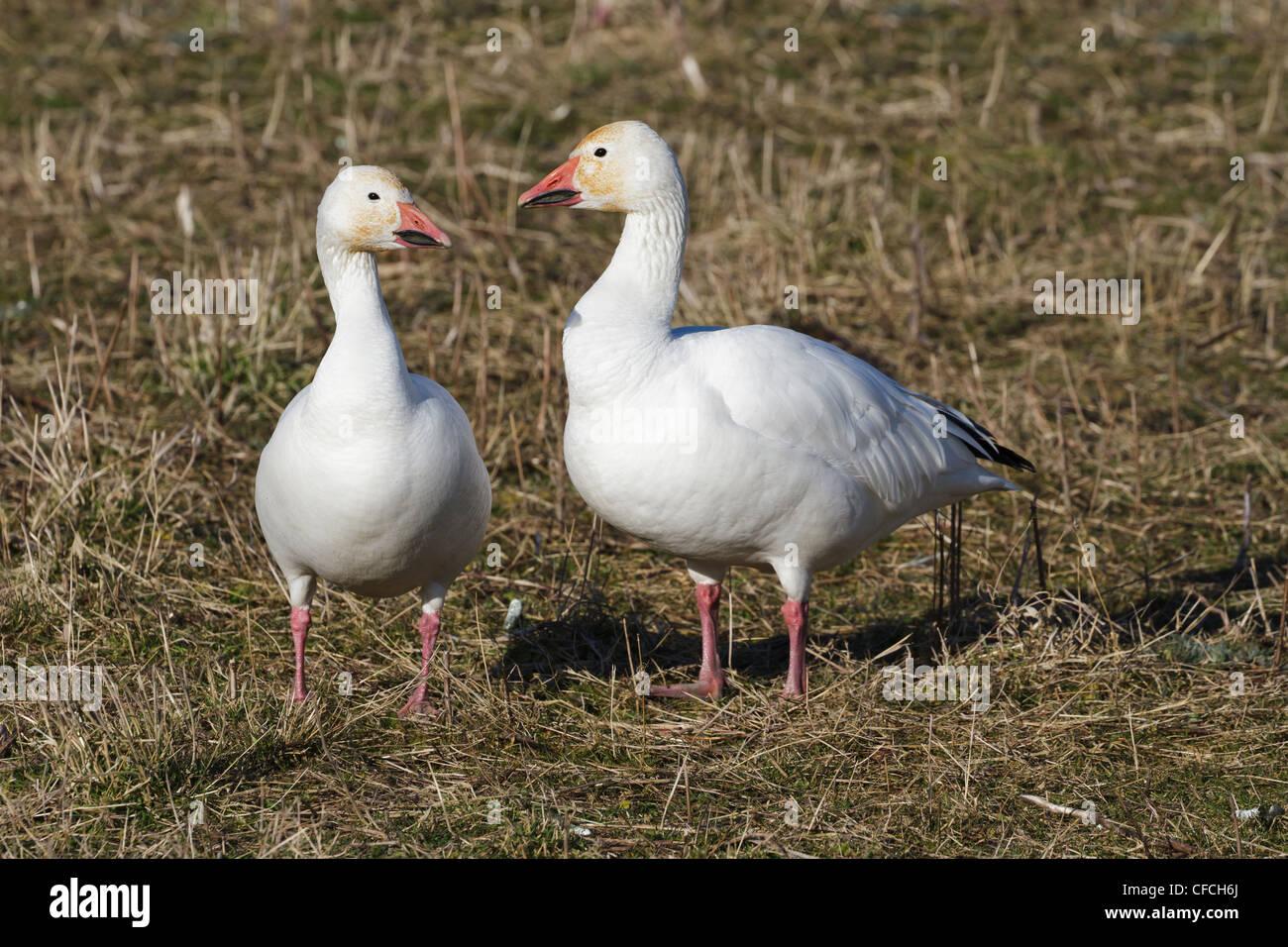 Snow Goose, migratory bird close up shot Stock Photo