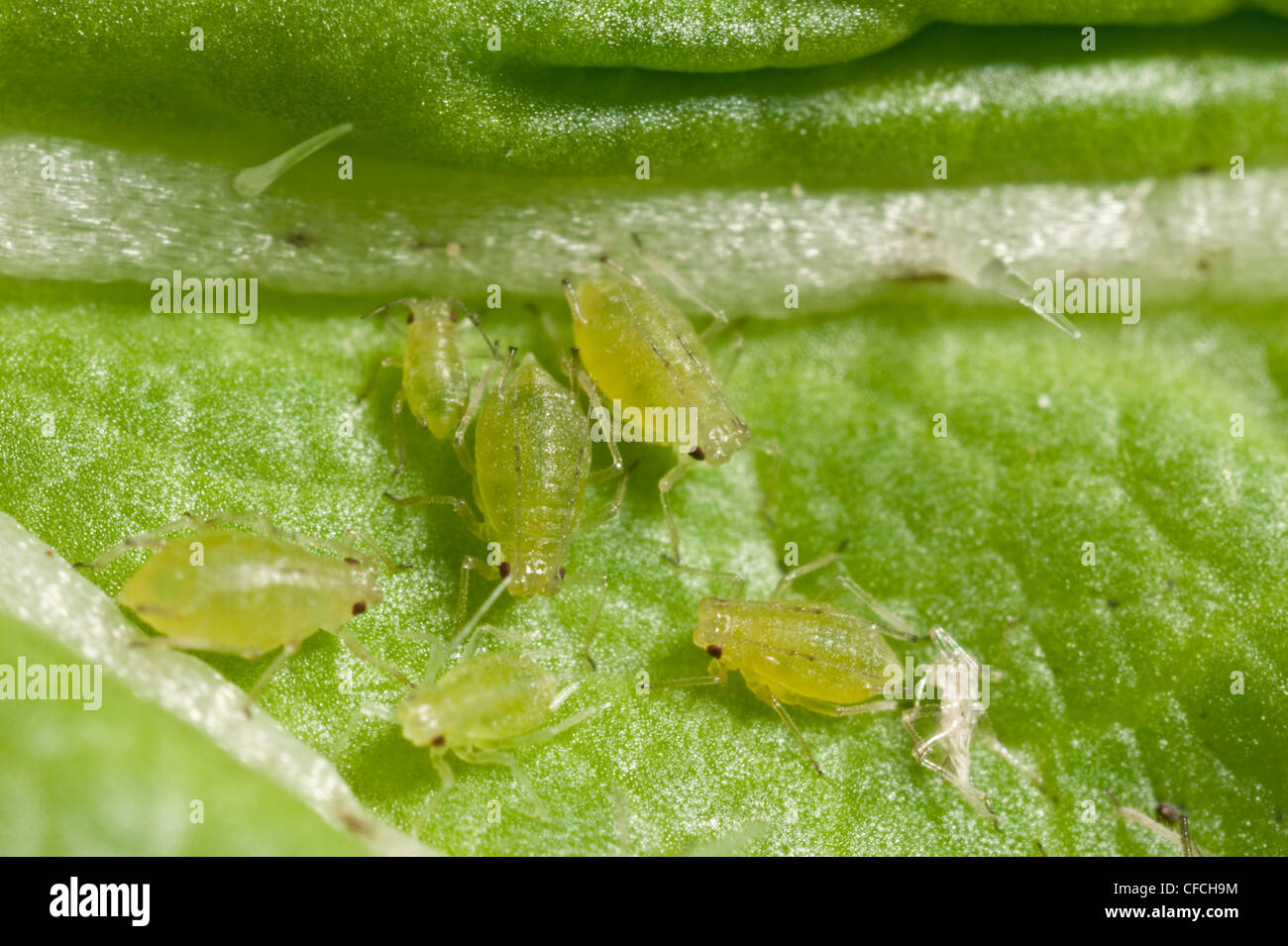 Green Peach aphids - Stock Image