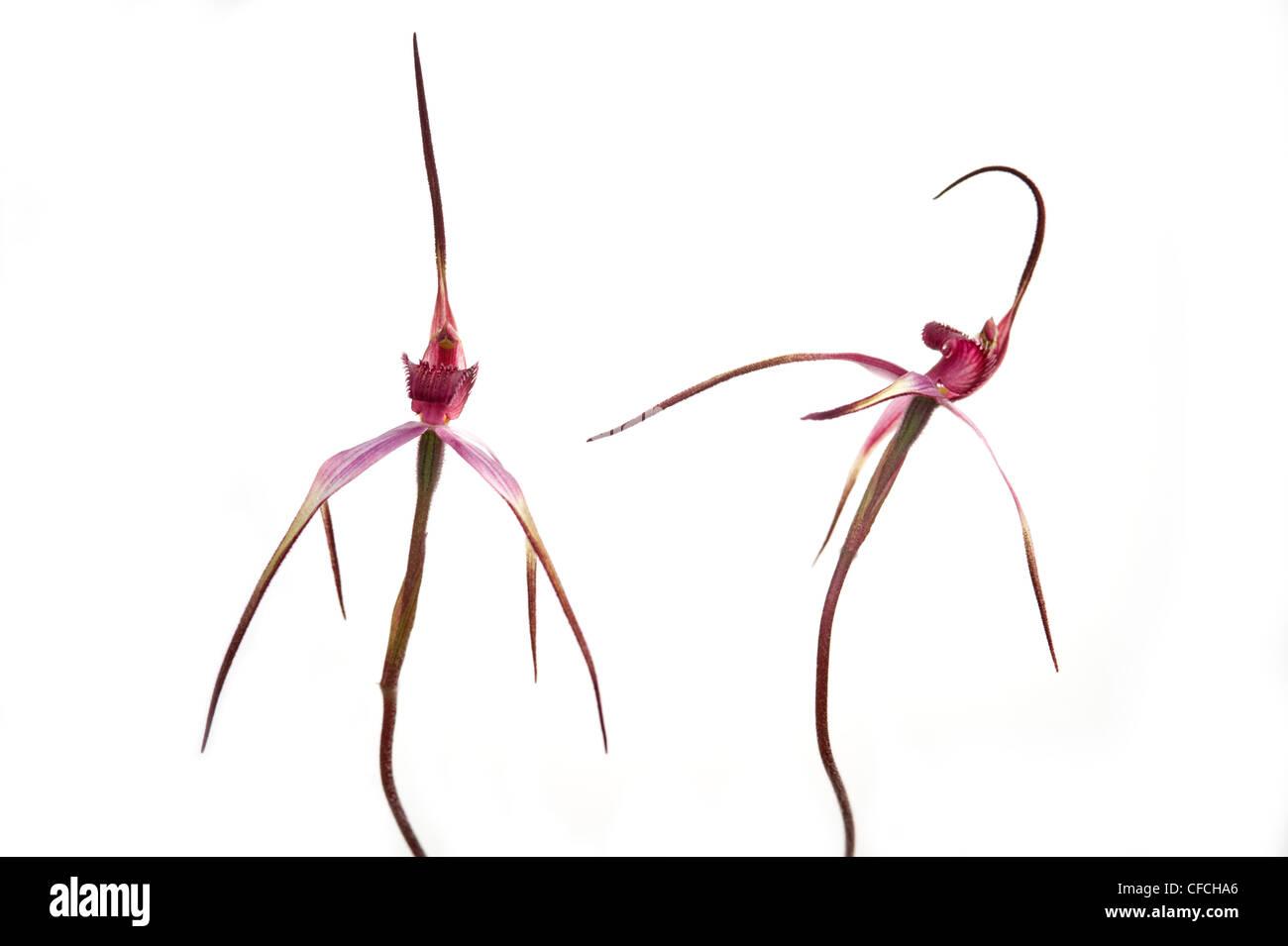 Australian tawny spider orchid flower - Stock Image