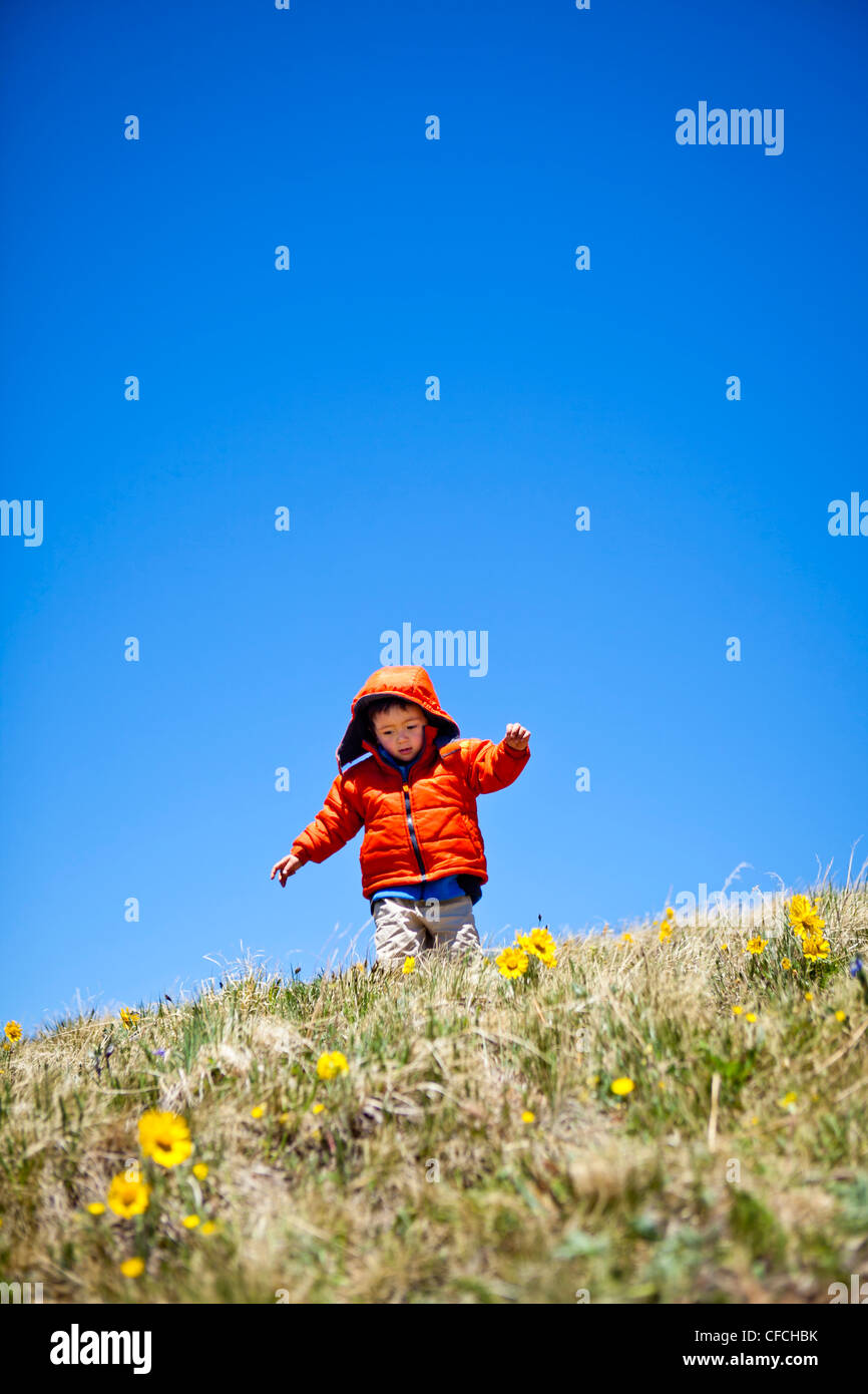 a 2 year old hikes and frolics through an alpine meadow that is littered with yellow alpine wildflowers (daisy like) - Stock Image