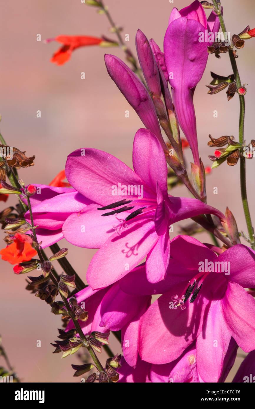 Watsonia x 'Tecolote Flamboyant'' at Mercer Arboretum and Botanical Gardens in Spring, Texas. - Stock Image