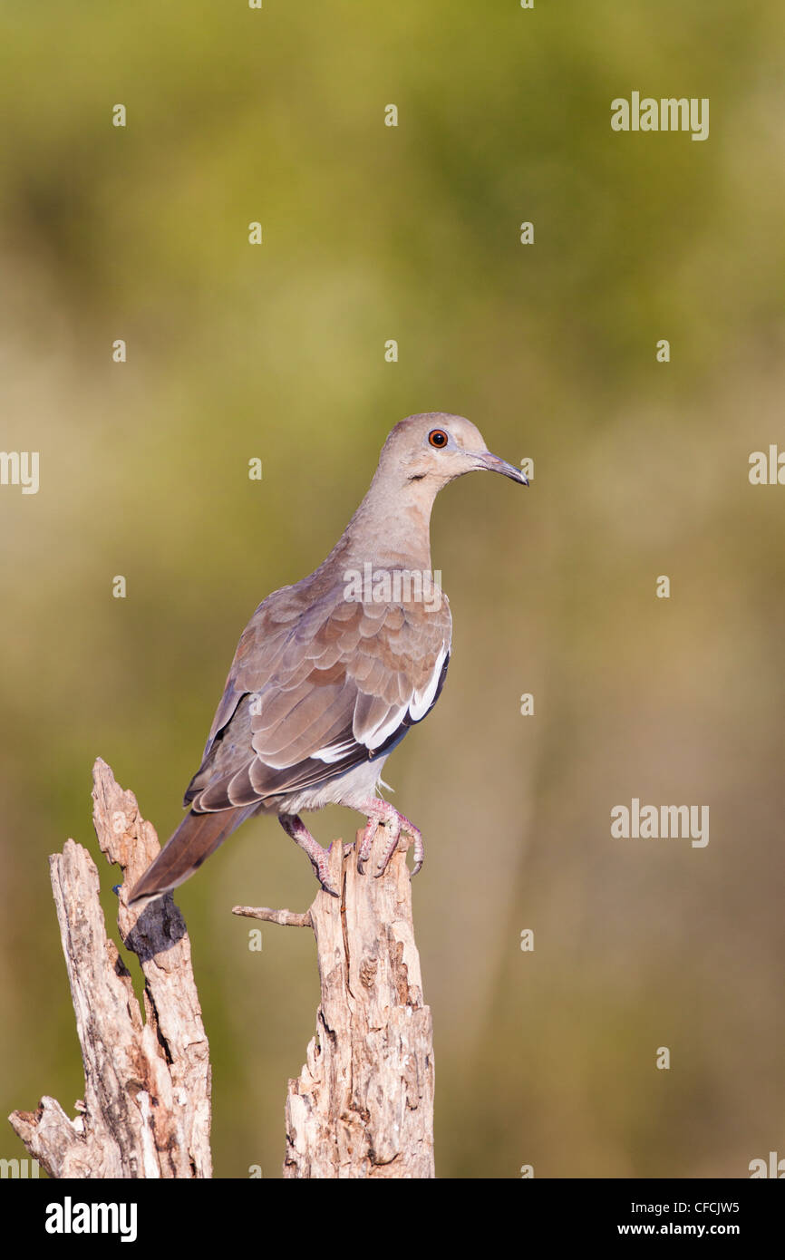 White-winged Dove, Zenaida asiatica, on tree branch. Stock Photo
