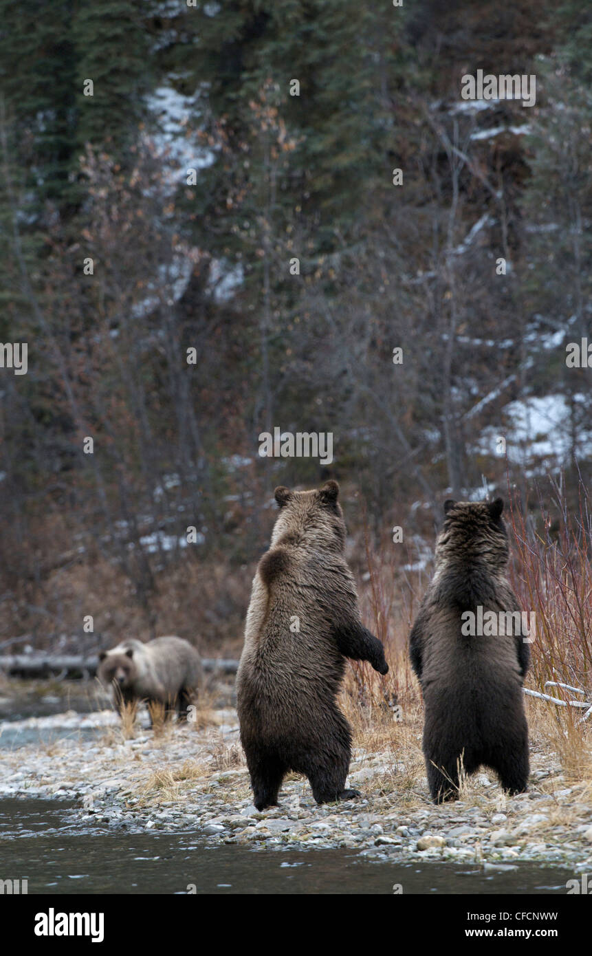 Grizzly Bear Ursus arctos standing-to locate Stock Photo