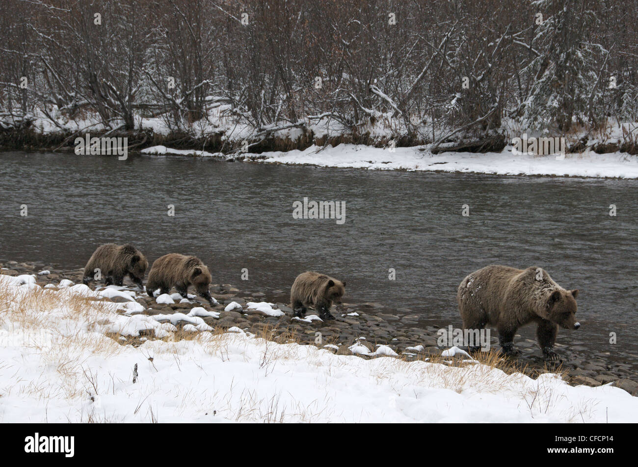 Grizzly Bear Sow 1st year cubs Ursus arctos - Stock Image