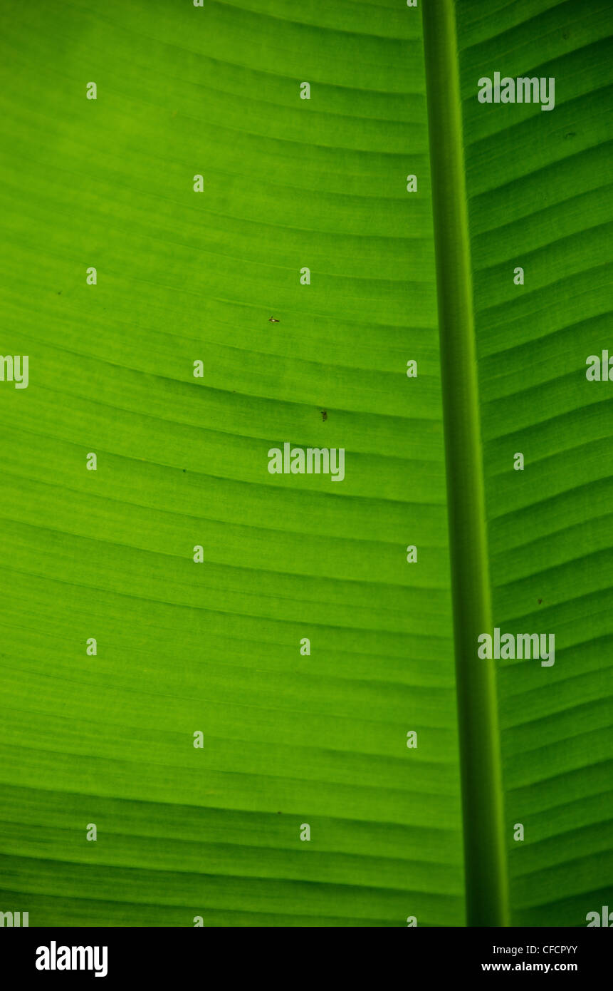 Natural green background of a banana leaf - Stock Image