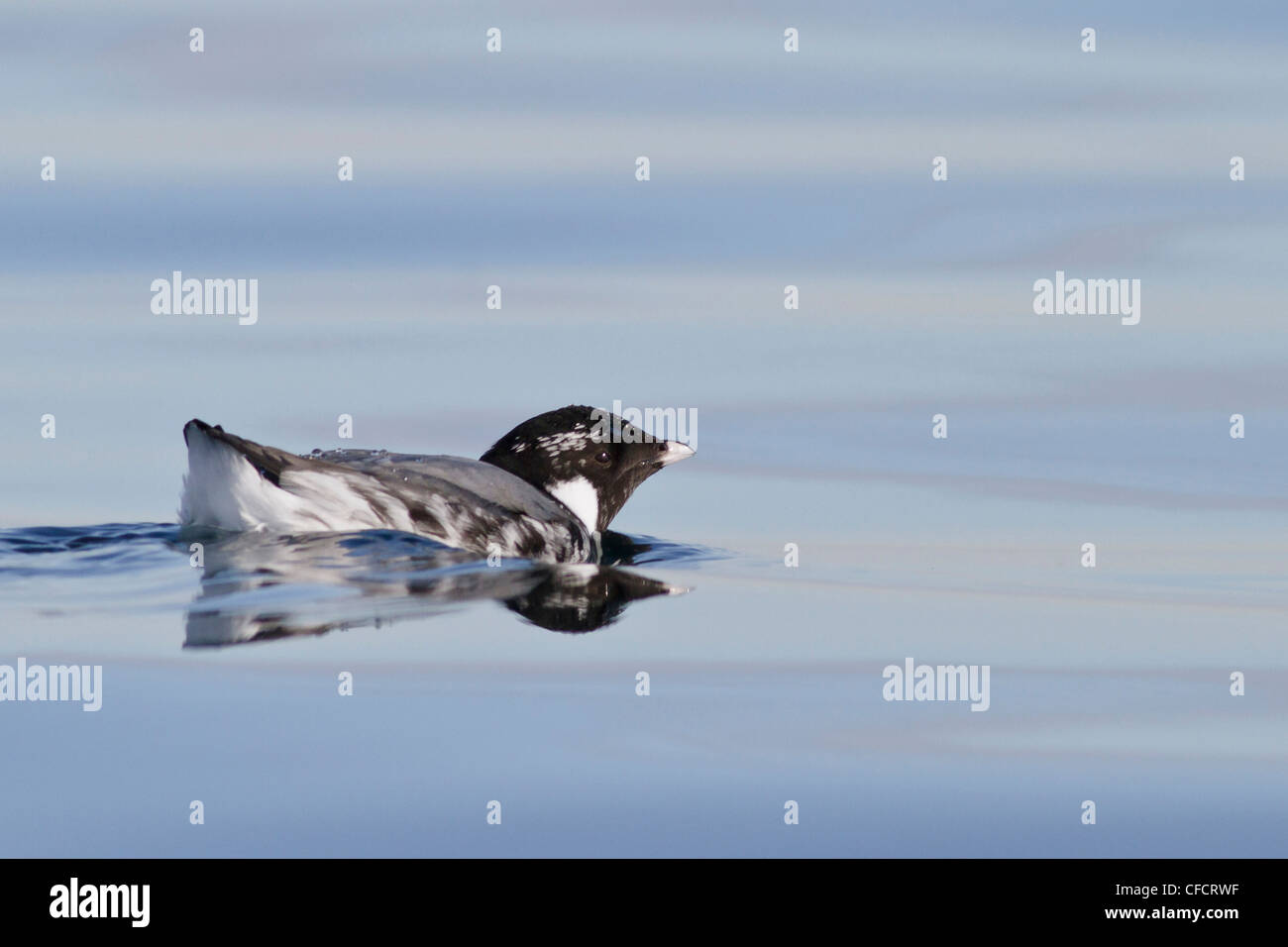 Ancient Murrelet (Synthliboramphus antiquus) swimming on the ocean near Victoria, British Columbia, Canada. - Stock Image