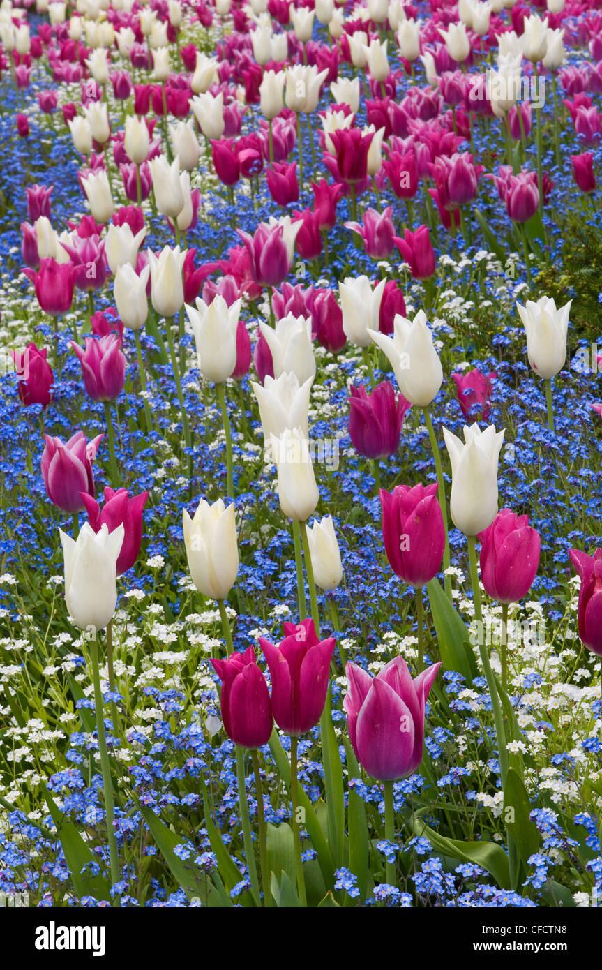 Pink and white tulips (Tulipa), Butchart Gardens, Victoria, Vancouver Island, British Columbia, Canada - Stock Image