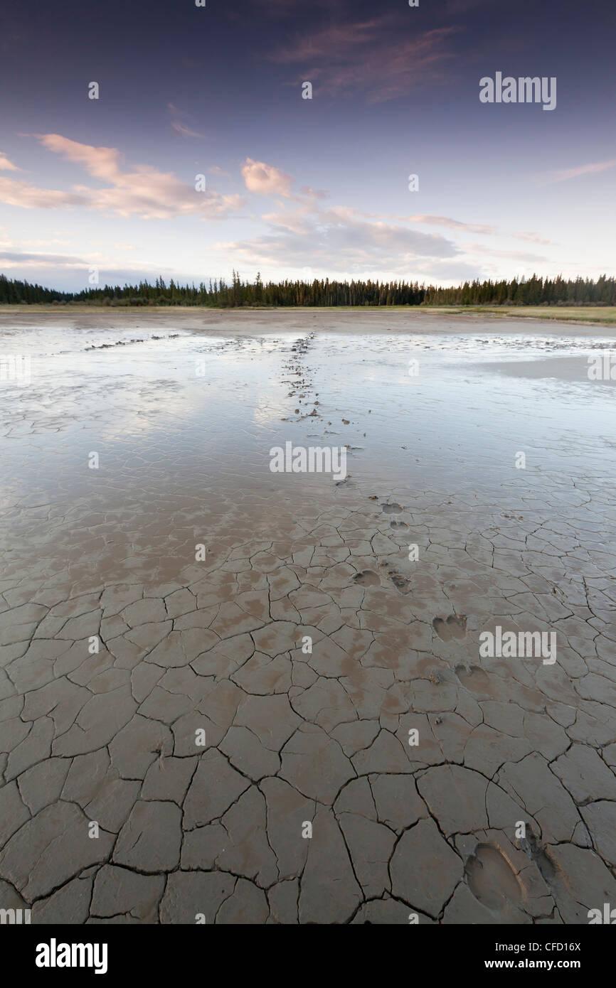 Tracks mud flats Salt Plains Wood Buffalo - Stock Image