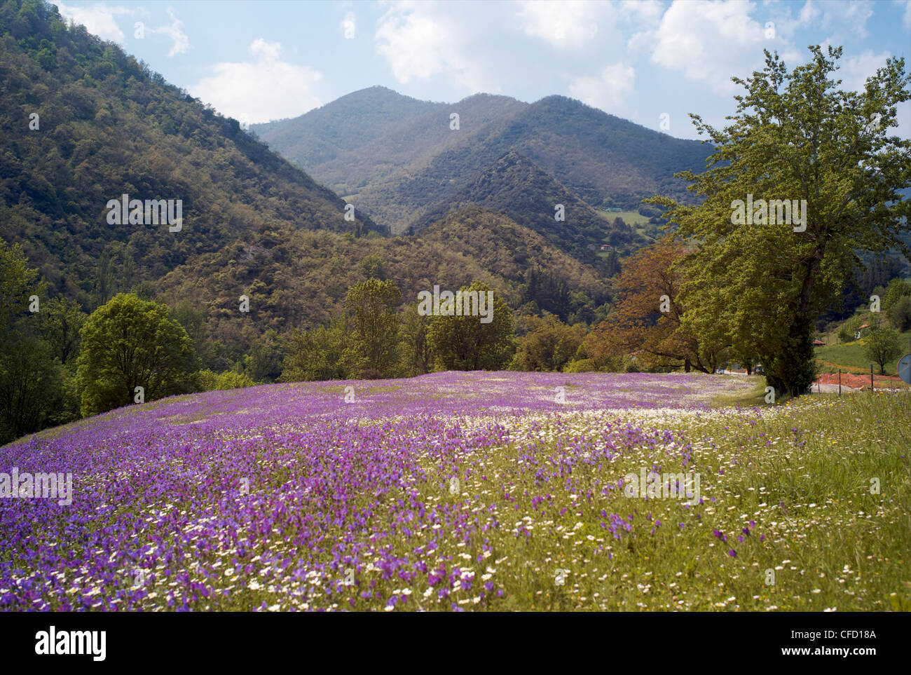 Spring flowers, Cantabria, Spain, Europe - Stock Image