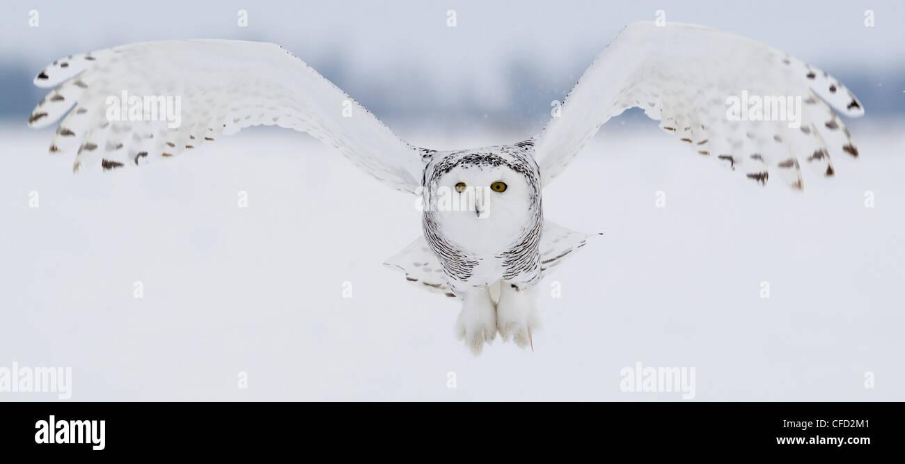Snowy Owl in flight, Ottawa, Canada - Stock Image