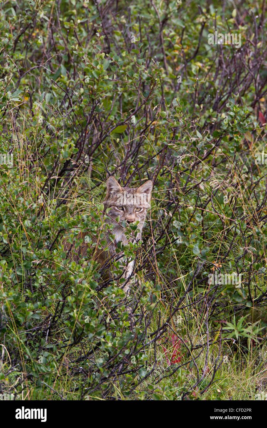 Canadian lynx (Lynx canadensis), Polychrome Pass, Denali National Park, Alaska, United States of America - Stock Image