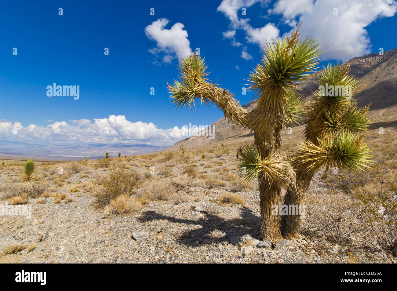 Joshua tree forest (Yucca brevifolia), on the Racetrack road, Death Valley National Park, California, United States - Stock Image