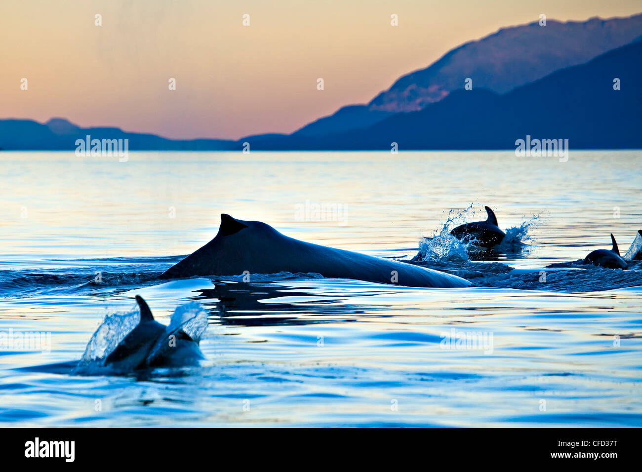 Pacific White Sided Dolphins Lagenorhynchus - Stock Image