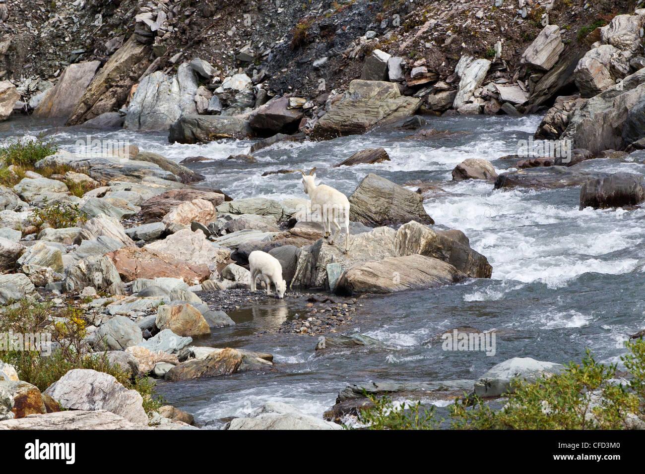 Dall sheep Ovis dalli dalli ewe lamb Savage River - Stock Image