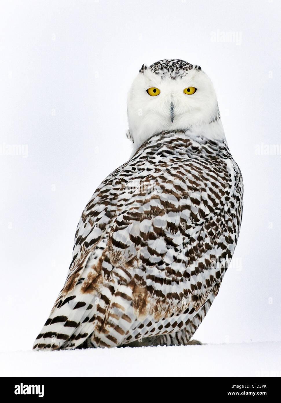 Snowy Owl portrait, Ottawa, Canada - Stock Image