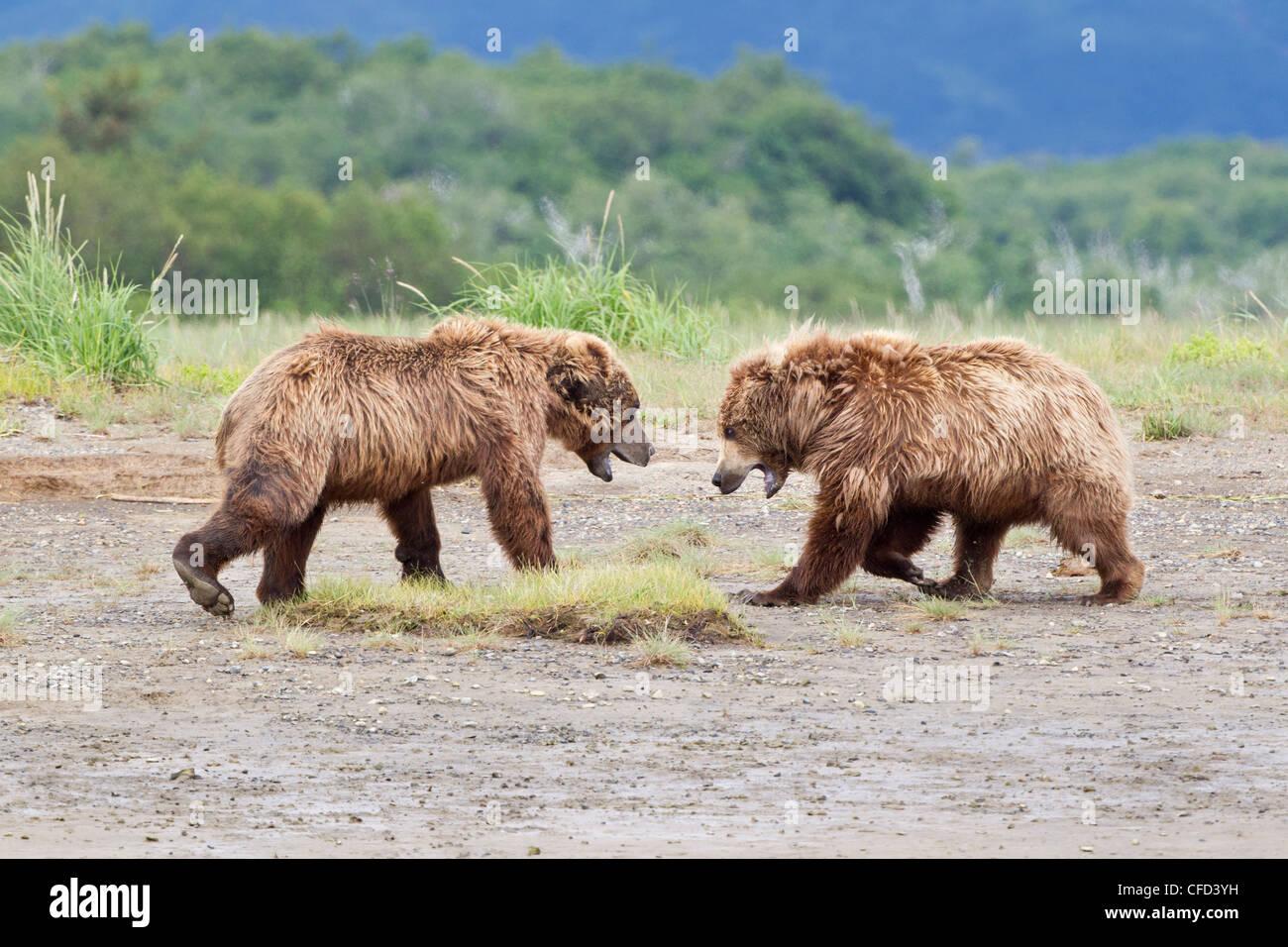 Grizzly bears/Alaskbrown bears Ursus arctos Stock Photo