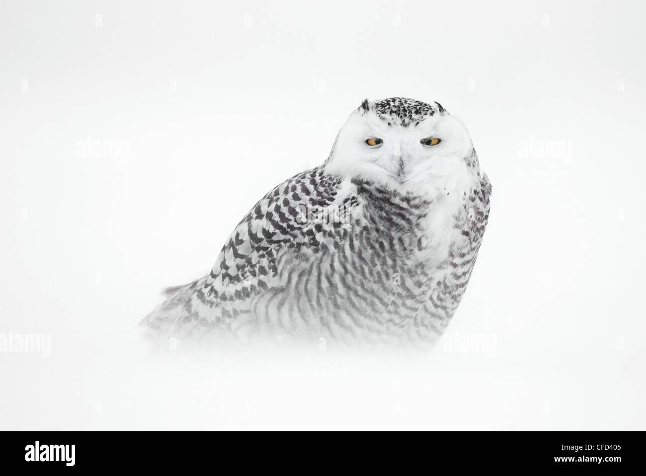 Snowy Owl, Ottawa, Canada - Stock Image