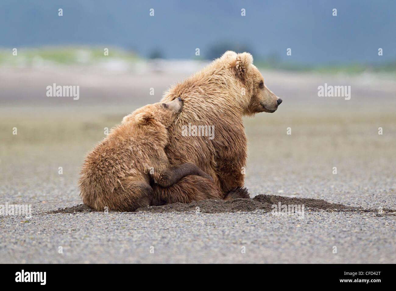 Grizzly bear/Alaskbrown bear Ursus arctos - Stock Image