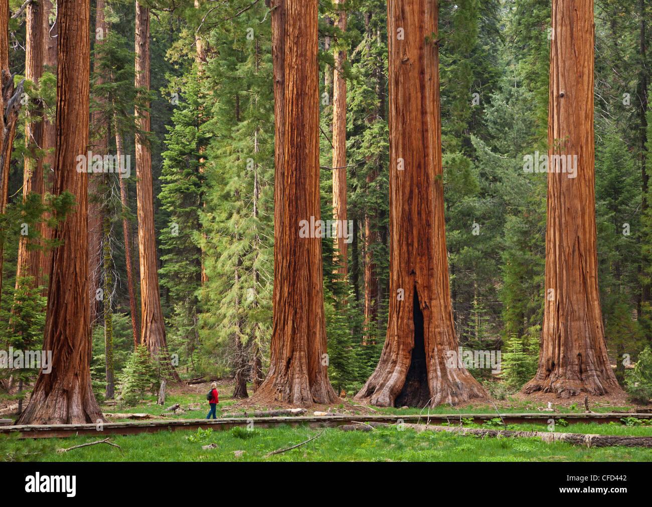 Tourist admiring the Giant Sequoia trees (Sequoiadendron giganteum), Sequoia National Park, Sierra Nevada, California, - Stock Image