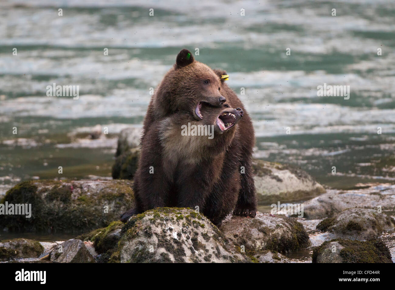 Grizzly bear (Ursus arctos horribilis), cubs, play wrestling, Chilkoot River, Haines, Alaska, United States of America - Stock Image