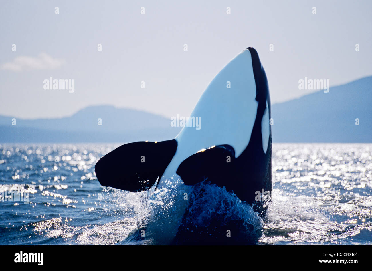Killer Whale spy hopping, British Columbia, Canada. - Stock Image