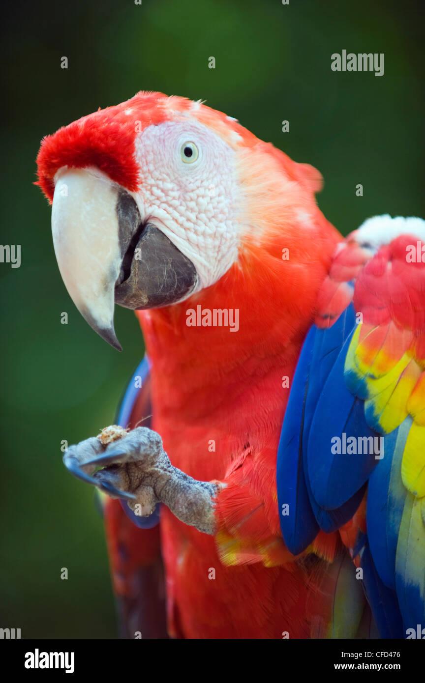 Macaw at Copan Ruins, Honduras, Central America - Stock Image
