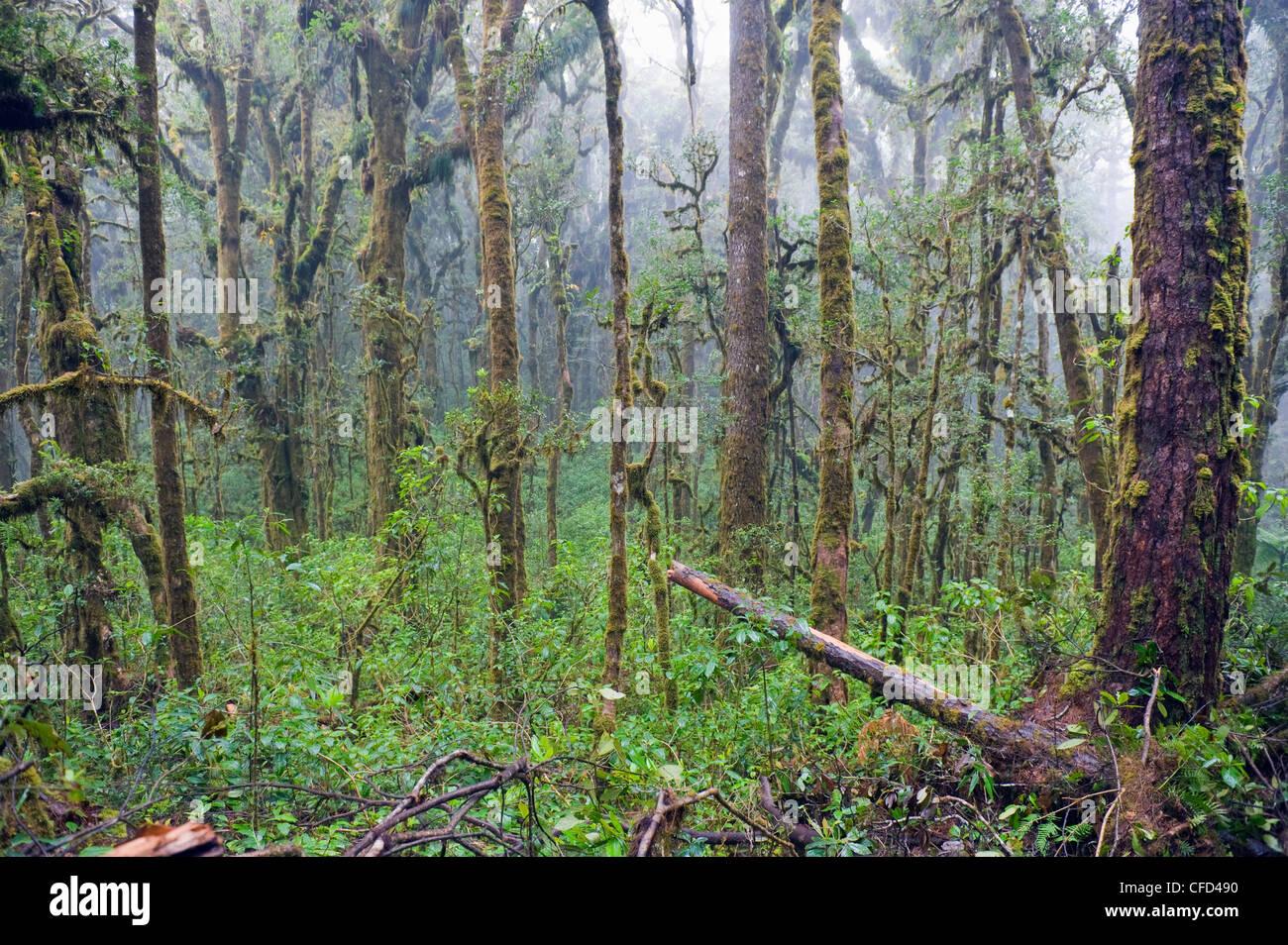 Rain forest of Parque Nacional Montana de Celaque, Gracias, Honduras, Central America - Stock Image